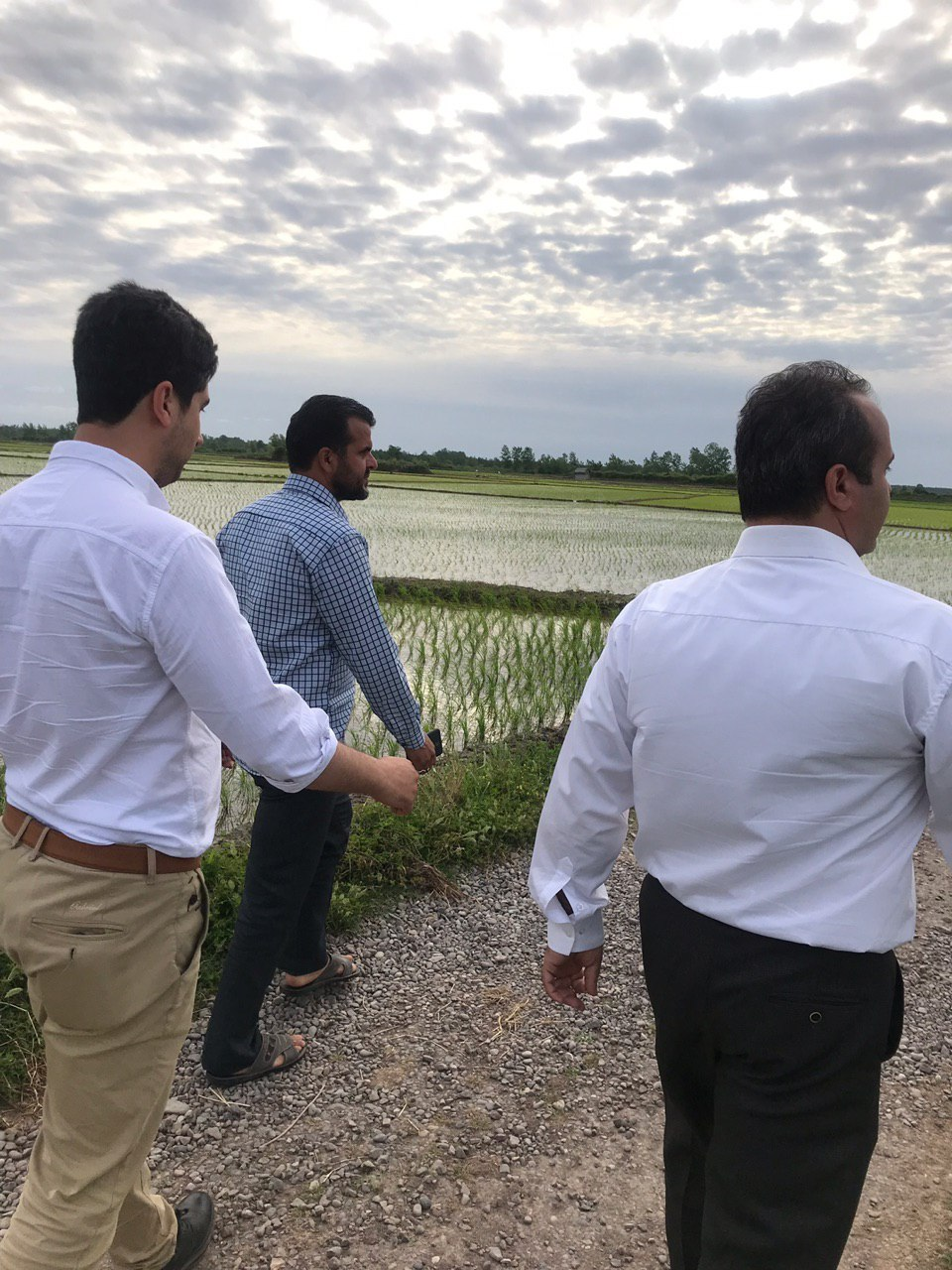 افزایش دوبرابر محصول برنج کشاورز باطرح همگام باکشاورز درشهرستان آستانه اشرفیه
