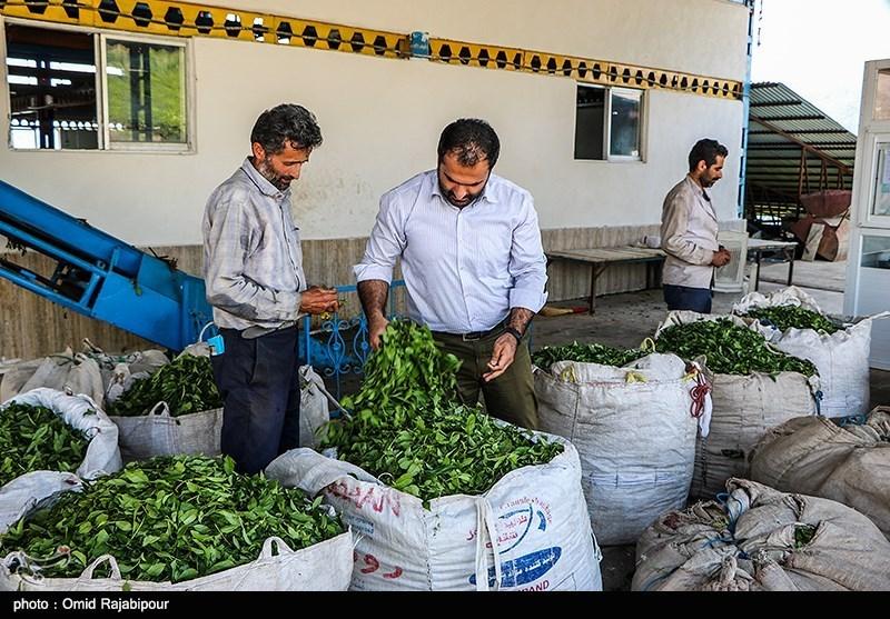 «چای لاهیجان» عاری از هرگونه آلودگی است؛ عدم استفاده از سموم کشاورزی در باغات چای گیلان و مازندران