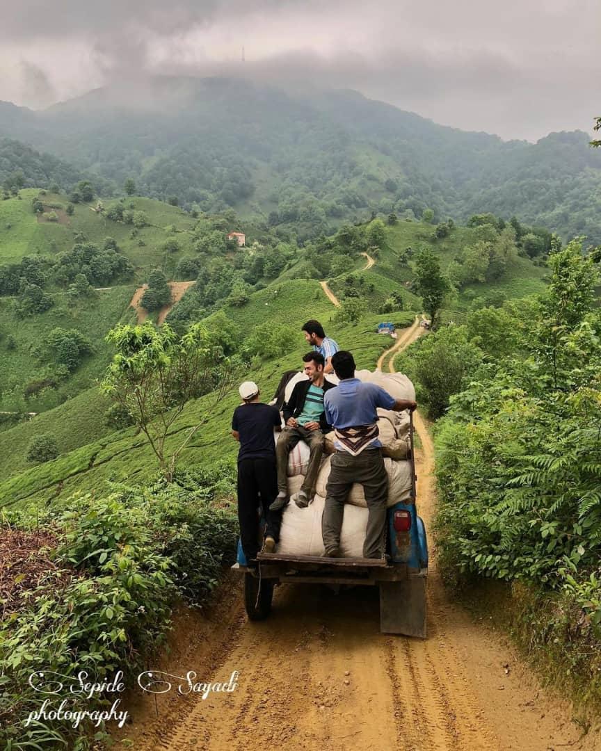 دم کشیدن رنج چایکاران صنعت چای کشور ✍دکتر آذرپور